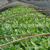 【批发种苗、种子】宜都友民种苗常期供应优质茶树苗茶树种子