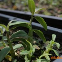 供应批发组培铁皮石斛兰种苗