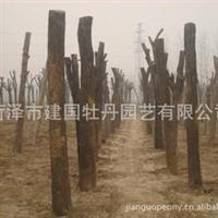 菏泽市建国牡丹园艺批发供应苗木