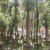 福建漳州香樟15-80公分假植苗