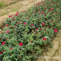 大量供应造型优美绿化工程灌木月月红