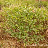 大量供应造型优美绿化工程灌木荷花栀子