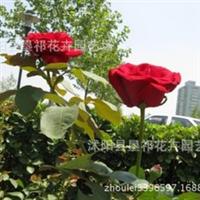 常年现货提供各种规格的品种月季、牡丹、桂花、茶花等