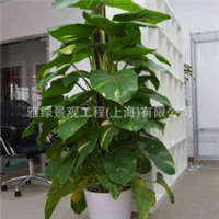 室内盆栽植物优质绿萝黄金葛(租凭)