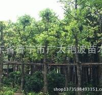 广东普宁广太艳波苗木场大量供应天竺桂(阴�E)假植苗绿化苗苗木