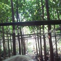 广东普宁广太艳波花木场大量供应菩提树绿化苗移植苗木地苗