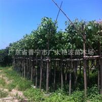 本苗场菩提树8-18公分绿化苗移植树木小苗假植苗