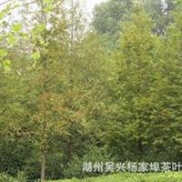 【水杉出售】8—10厘米