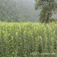 花牛系列各个品种苹果苗苹果树苗果树树苗