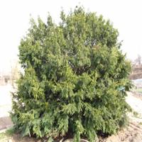 红豆杉小苗特供红豆杉种苗种子