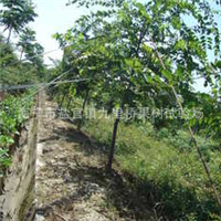 大量供应优质低价的朴树小苗