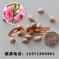 批发出售果树苗木种子樱桃种子林木种子植物种子