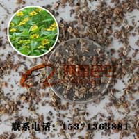 批发出售进口草坪草花花卉精选野菊花种子品种纯正优质种子出售