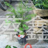 12元特价供应南方红豆杉盆栽