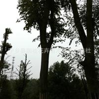 湖南苗圃供应10---60CM树形好红果冬青