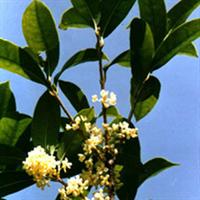 萧山绿化苗木观音竹、富贵草、扶芳藤盈中园林苗圃优惠