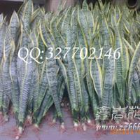 批发高种虎皮兰(虎尾兰)单株种出口级虎皮兰
