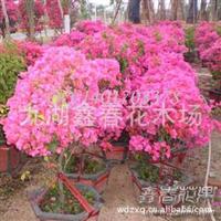 漳州供应虎皮兰高种虎尾兰租赁虎皮兰盆栽
