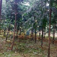 供应自产苗圃绿化苗木南方红豆杉绿化苗紫杉价格优惠