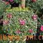 供应春兰寒兰墨兰福建花卉室内观叶植物