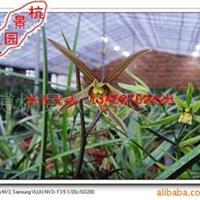 供应兰花-永福素红梅大雪素龙岩素