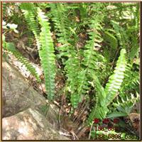 批发供应花肾蕨,别称:蜈蚣草、圆羊齿、篦子草、石黄皮