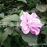 木槿锦葵科灌木小乔木无穷花,沙漠玫瑰欢迎来电咨询