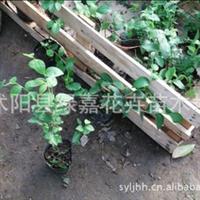 苗圃直销蓝莓树苗盆栽优质蓝莓苗带营养钵的成品苗确保成活