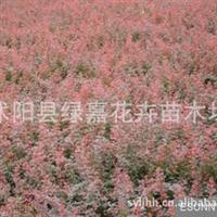 批发供应红叶小檗苗红叶小波小苗种苗床苗扦插苗紫叶小檗