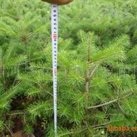 出售30cm以上冷杉树苗