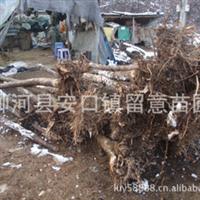 出售裸根定杆五角枫树苗,胸径8--10cm,数量20000棵