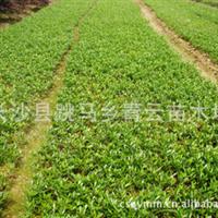 长沙长期供应小叶栀子量大从优