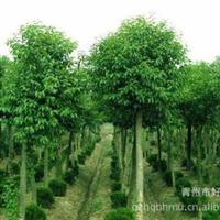 【热卖】园林造景首选对节白蜡大树造型