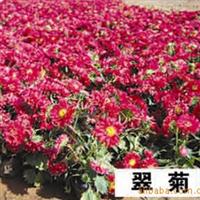 【苗圃直销】矮杆重瓣多种规格翠菊