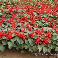 供应各种优质草花—一串红(图)
