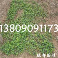 出售优质三叶草,预定优惠,量大更优!