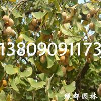 基地繁育耐寒、耐旱、耐湿5-100cm红润木小苗-根系发达、成活率高