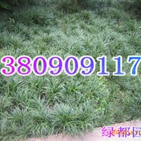 供应优良品种麦冬草(图)