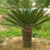 供应优质铁树、13809090820(图)