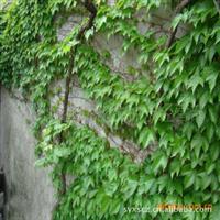 供应优质地面覆盖用绿化苗木爬山虎(图)