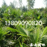 基地繁育耐寒、耐旱、耐湿5-100cm红马球小苗-根系发达、成活率高