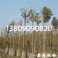 繁育耐寒、耐旱、耐湿5-100cm花叶络石小苗-根系发达、成活率高
