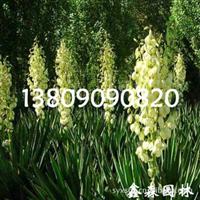 基地繁育耐寒、耐旱、耐湿5-100cm小酢浆草苗-根系发达、成活率高