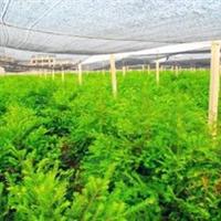 供应绿化苗木乔木类【红豆杉】紫杉,赤柏松规格齐全量大优惠