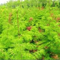 供应绿化苗木乔木类【金钱松】金松、水树1-10公分齐全量大优惠