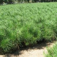 园林绿化苗木-樟子松-长白山大苗