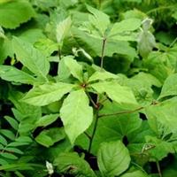 园林绿化苗木-柞树-大苗