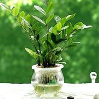 水培金钱树