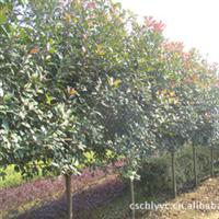 大量供应红叶石楠优质彩色树种观赏价值高