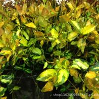黄金络石又名黄金锦络石常绿木质藤蔓植物欢迎订购